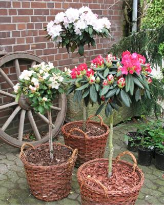 alpenrose rhododendron bico online kaufen. Black Bedroom Furniture Sets. Home Design Ideas