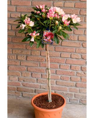 alpenrose rhododendron golden torch hier online. Black Bedroom Furniture Sets. Home Design Ideas
