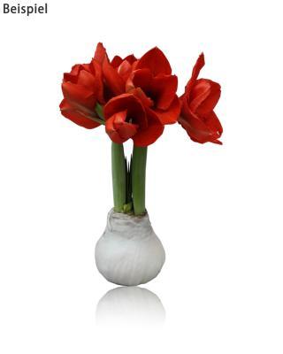 amaryllis zwiebel gefrostet wei online bestellen. Black Bedroom Furniture Sets. Home Design Ideas