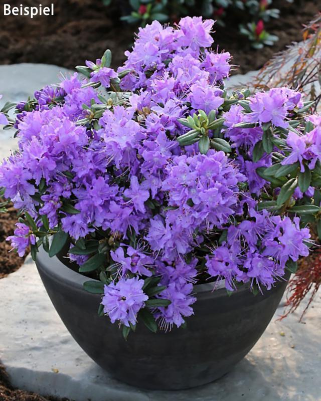 zwerg-rhododendron-blue-tit-