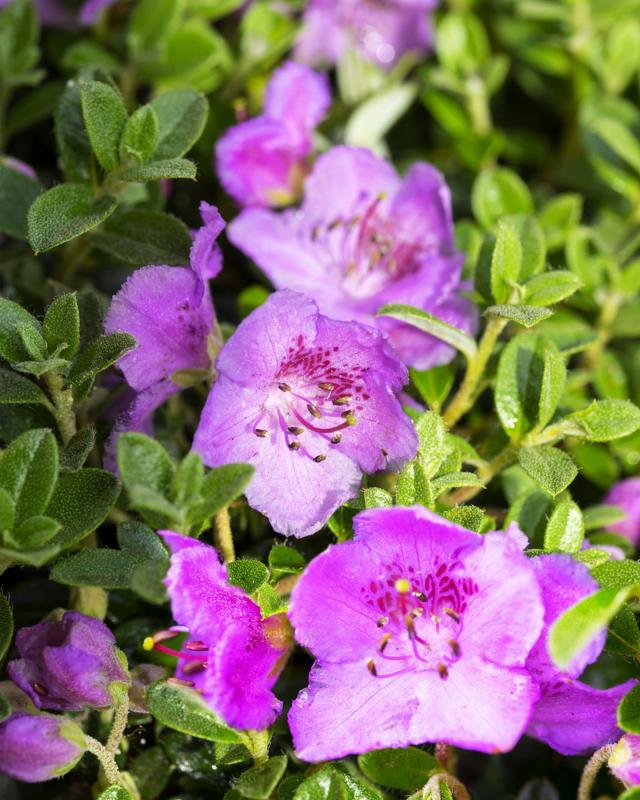 rhododendron-lilly-bell-