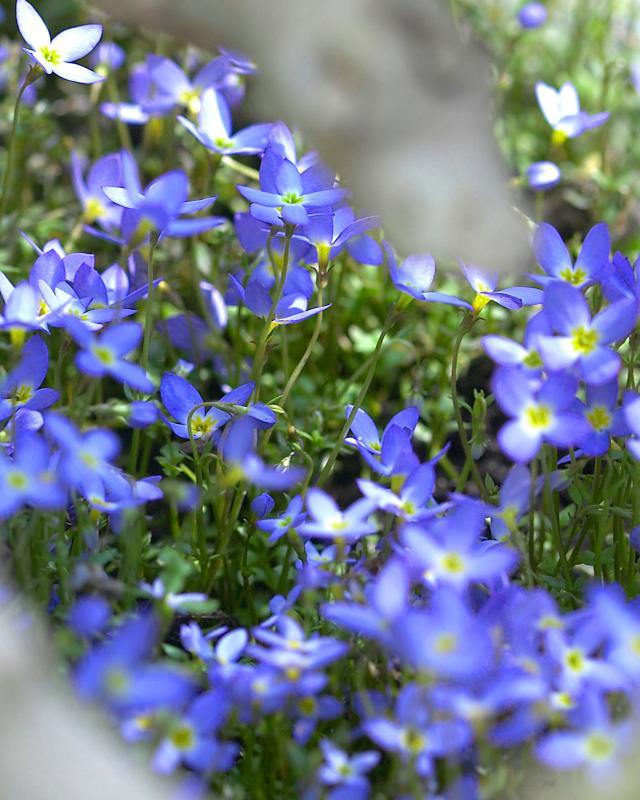 Bodendecker Blaustern Isotoma 3er-Set