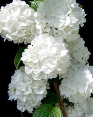 Viburnum Popcorn